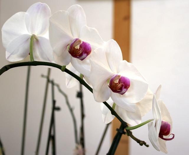 květy orchidee
