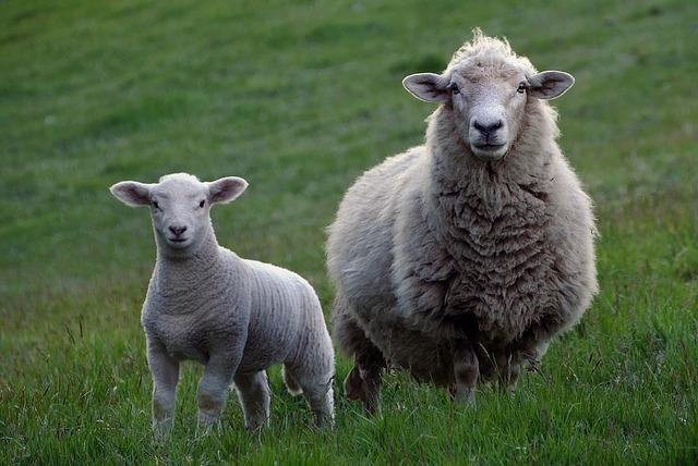 Ovce na venkově