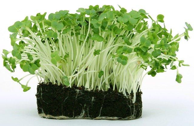 Rostlinky řeřichy
